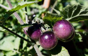 blueberry-tomato