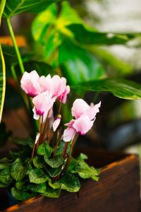 Cyclamen indoors