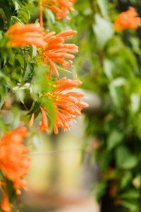 orange-trumpet-vine
