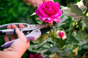 Woman hands with gardening shears cutting pink rose of bush.